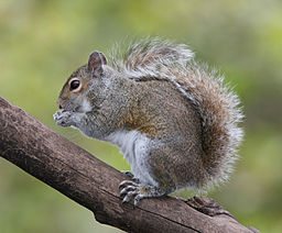 Eastern Grey Squirrel, photo by BirdPhotos.com, courtesy of Wikimedia Commons