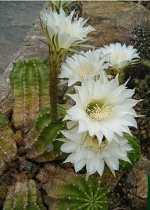 Night flowering Cactus 2--256px-Echinopsis_eyriesii_HabitusFlowers_BotGardBln0806a