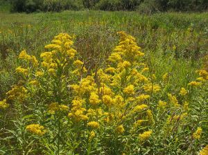 Goldenrod big- 1024px-Field-of-goldenrod-flowers
