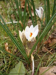 Crocus biflorus photo by Reginald Hulhoven from Wikimedia Commons